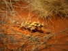 Alice Desert Parc - Thorny Devil