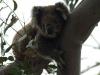 Koalas auf dem Weg nach Cape Otway
