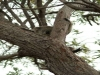 Magnetic Island - Koala in freier Wildbahn