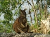 Wallaby im Granit Gorge Camp
